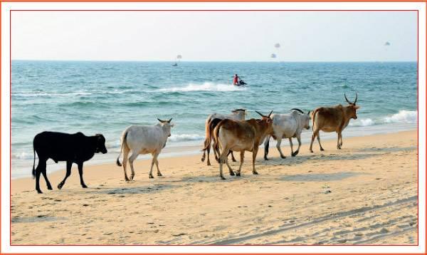 Коровы идут по берегу океана на Гоа