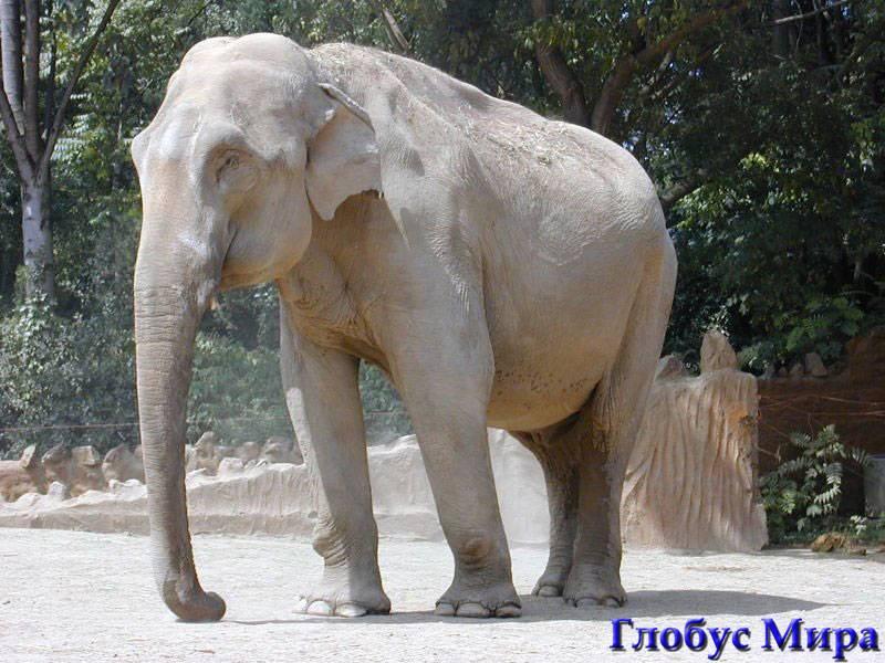 Белый слон – символ королевской семьи Бангкока