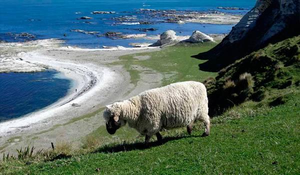 Красивая новозеландская мериносная овца