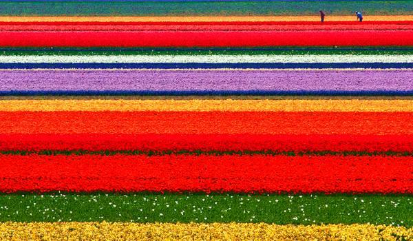 Это не палитра красок, это – поля тюльпанов в Голландии