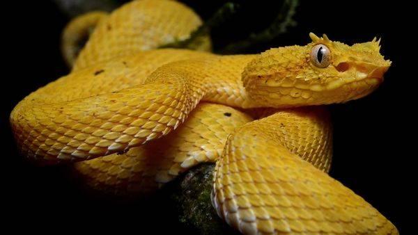 Змея ботропс