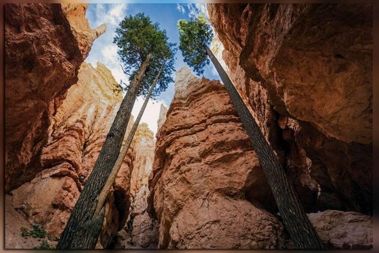 Сосны в каньоне