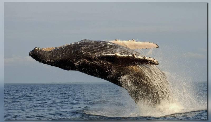 Танец горбатых китов