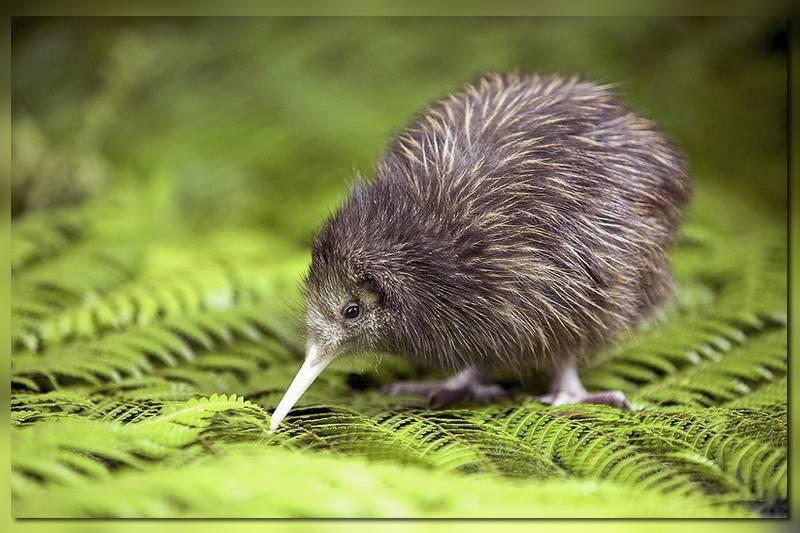 Символ Новой Зеландии птица киви
