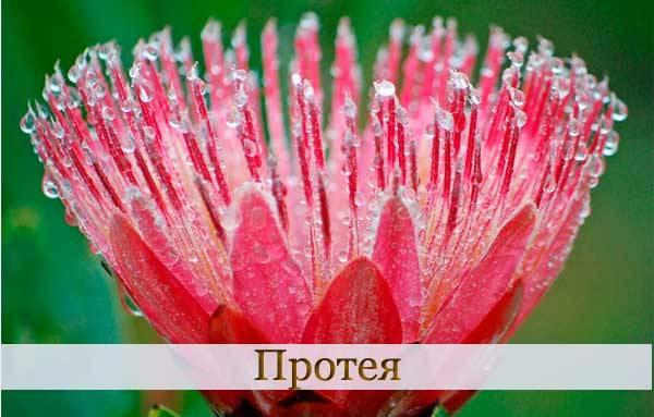 Цветок протея на Столовой горе
