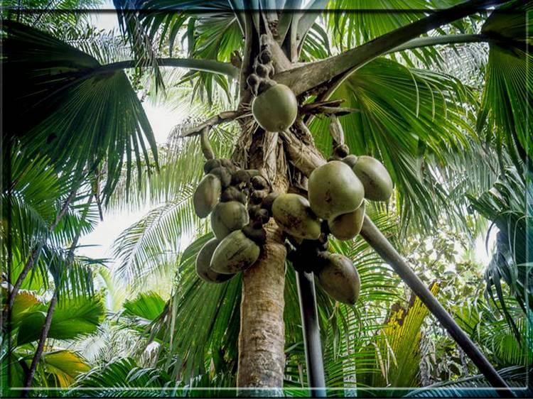 Сейшельская пальма Лодоицея