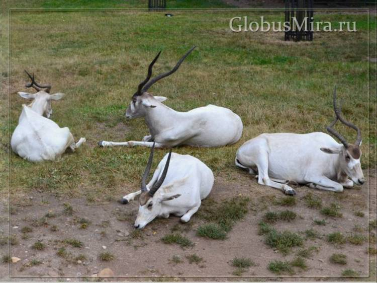Антилопа сендес в пражском зоопарке