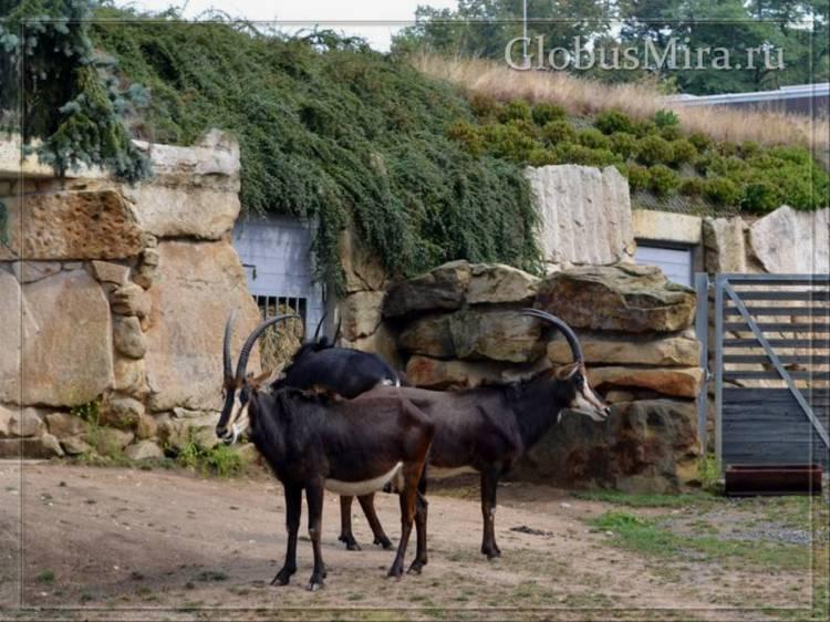 Черная антилопа сэйбл
