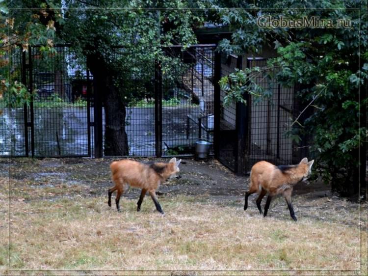 Гривистые волки в пражском зоопарке