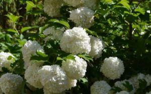 Цветение калины-бульдонеж