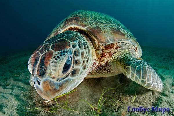 Большой Барьерный риф: редкий вид – зеленая черепаха, Австралия
