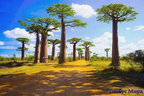 Баобабы Мадагаскара