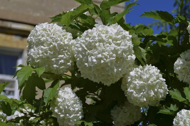 Цветы калины бульдонеж