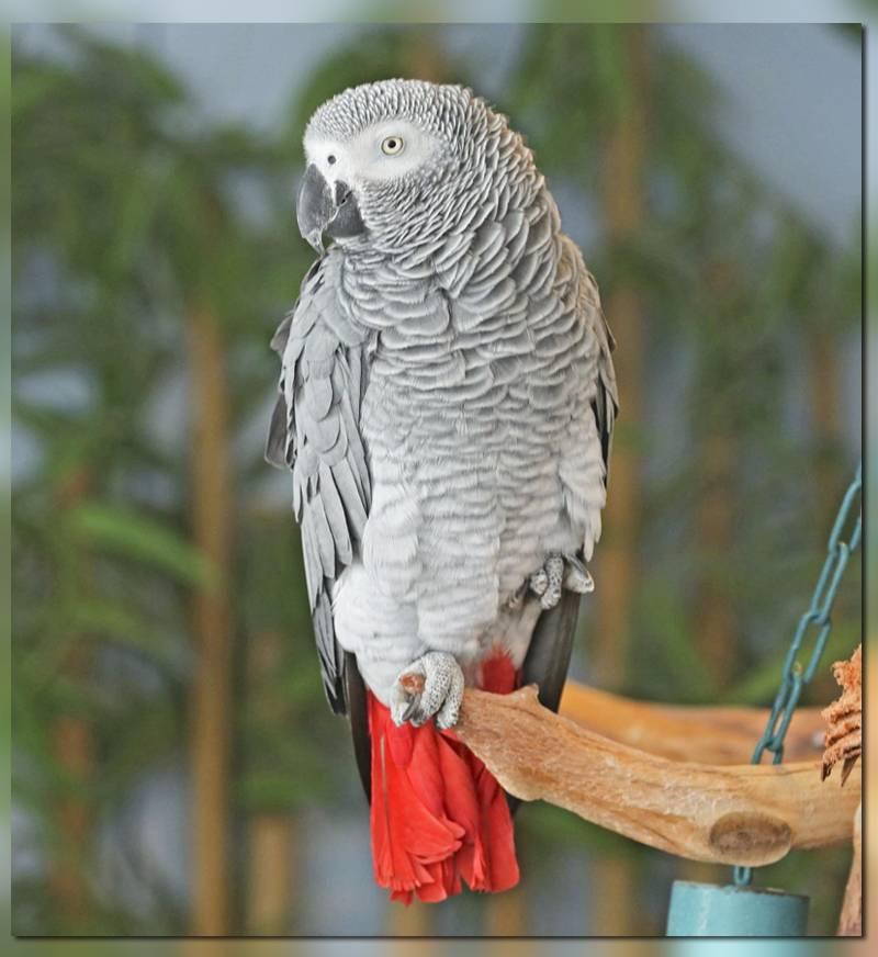 Попугай Жако - достопримечательности, Габон