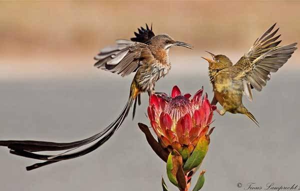 Сахарные птицы в Капских горах