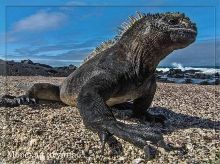 Морская галапагосская игуана