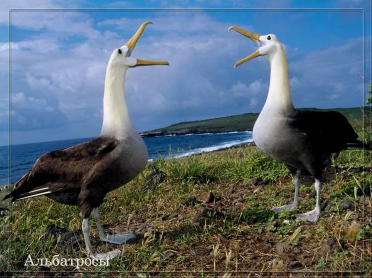 Пара галапагосских альбатросов