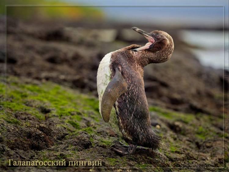 Пингвины Галапагоса