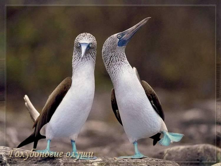 Голубоногие олуши Галапагосских островов