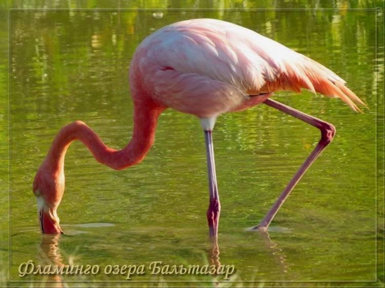 Фламинго на озере Бальтазар