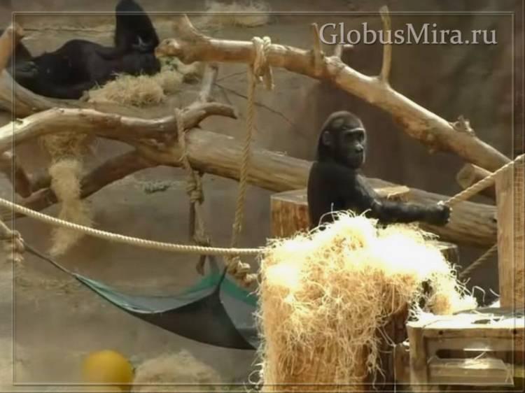 Гориллы пражского зоопарка