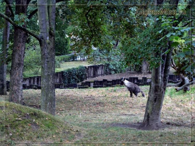 Бурая гиена в пражском зоопарке